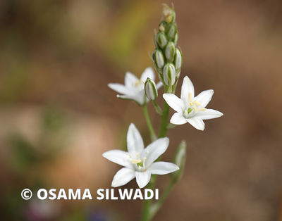 The Wildflowers of Palestine - Ornithogalum