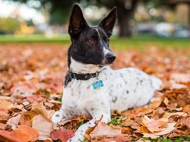 white-dog-with-black-face-in-leaves-stock-photo