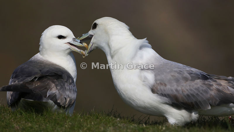 Pair of Northern Fulmars (Fulmarus glacialis) interacting, Sumburgh Head, Mainland South, Shetland, Scotland