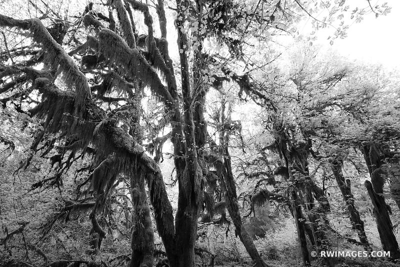 HALL OF MOSSES HOH RAINFOREST OLYMPIC NATIONAL PARK PACIFIC NORTHWEST FOREST BLACK AND WHITE