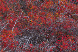 Autumn Desert Sumac in Great Basin National Park