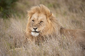 Male lion (Panthero leo), Shamwari Game Reserve, Eastern Cape, South Africa