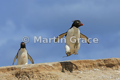 Southern Rockhopper Penguin (Eudyptes chrysocome chrysocome) jumping, Cape Coventry, Pebble Island