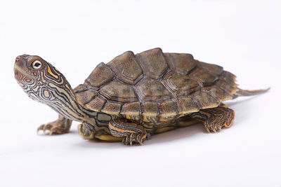 Texas map turtle (Graptemys versa)