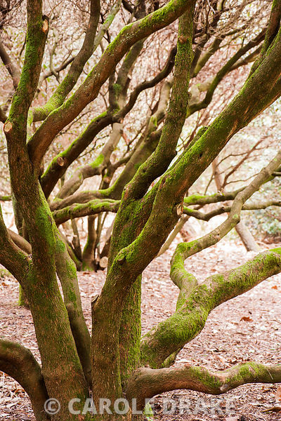 Moss covered rhododendron trunks. Sir Harold Hillier Gardens, Ampfield, Romsey, Hants, UK