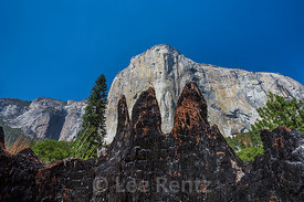 Burned Stump Showing Evidence of Fire in Yosemite Valley