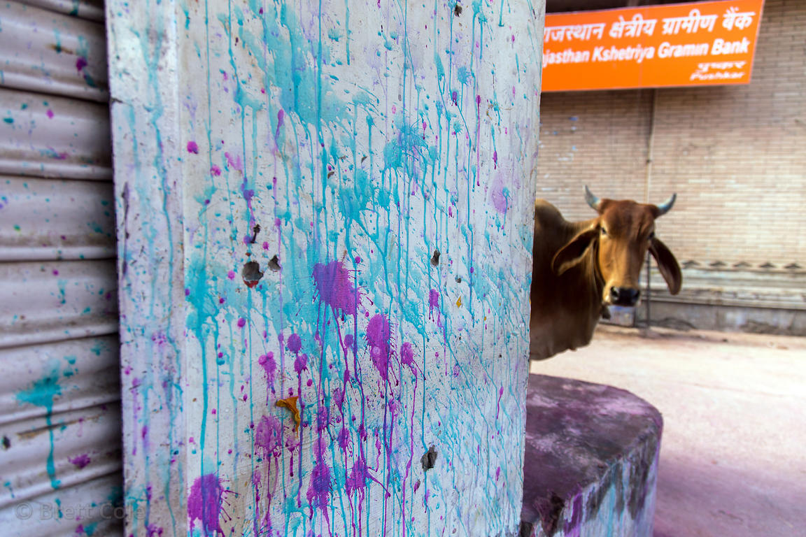 Gulal on a wall and a cow peeking around a corner during the Holi festival, Pushkar, Rajasthan, India