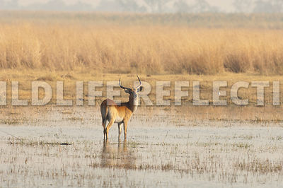 red_lechwe_standing_in_water