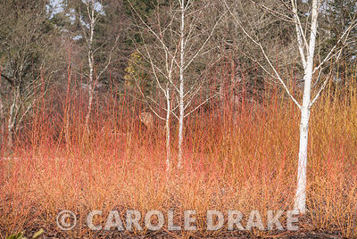 White birch amongst Cornus 'Midwinter Fire' and Salix alba 'Golden Ness'.