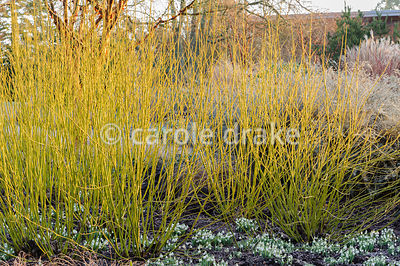 Cornus sericea 'Budd's Yellow' with snowdrops. Sir Harold Hillier Gardens, Ampfield, Romsey, Hants, UK