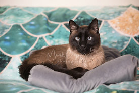 Siamese Cat Lying on Cat Bed