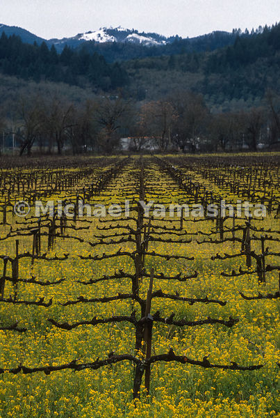 Dormant Grape Vines.Napa, California