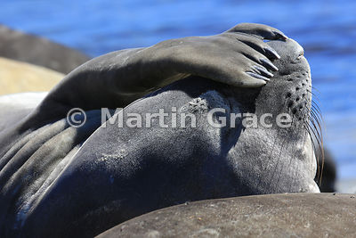 Southern Elephant Seal (Mirounga leonina) appearing to shade its eyes from the sun with a flipper, Carcass Island, Falkland I...