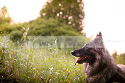shepherd dog looking away in summer park with grass and trees