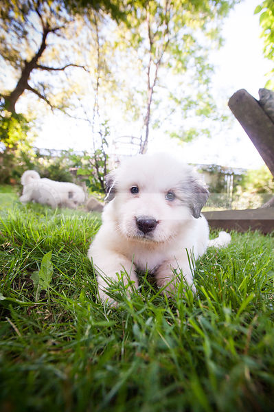 cute white puppy dog staring lying in mowed grass