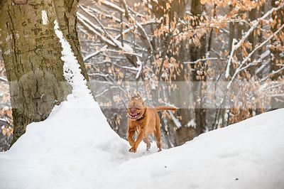 crazy giant red dog running down snowy winter trail