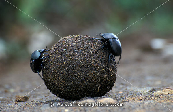 Dung beetle rolling a ball of dung, Hluhluwe-Imfolozi Game Reserve, KwaZulu-Natal, South Africa
