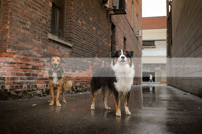 two dogs standing at urban brick wall in wet alley