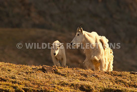 mountain_goat_nanny_and_kid_aglow