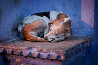 Dog sleeping on a blue painted door step in Bundi, Rajasthan, India