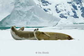 Two crabeater seals lying on glacier around the Antarctic Peninsula.