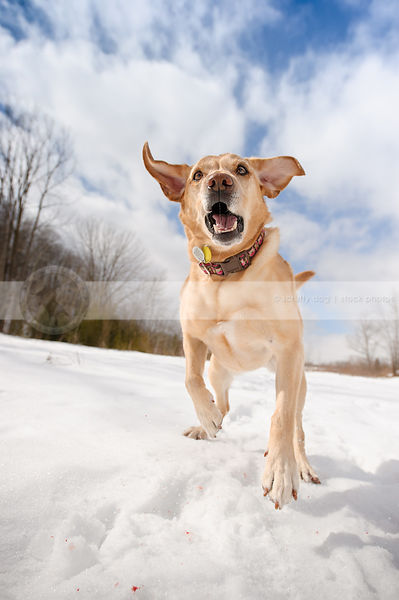crazy yellow labrador retriever running at camera in snow field under blue sky