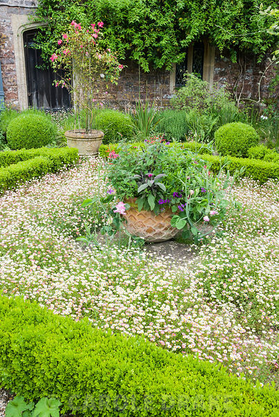 The terrace at Cothay Manor, Somerset covered with self seeded Mexican daisy, Erigeron karvinskianus, filling part of a box-e...