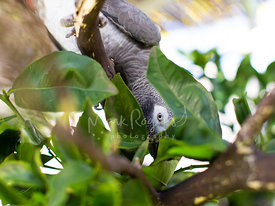African Grey Parrot hiding behind leaves
