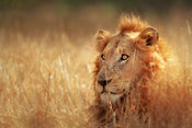 Lion lying / resting in dense grass