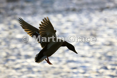 Mallard (Anas platyrhynchos) in flight, silhouetted against coruscating sunlit water, Lancashire, England