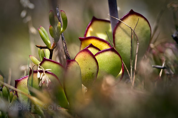 Succulent (sp.) in fynbos, Cape Point, South Africa