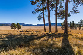 Ponderosa Pines in Valles Caldera National Preserve