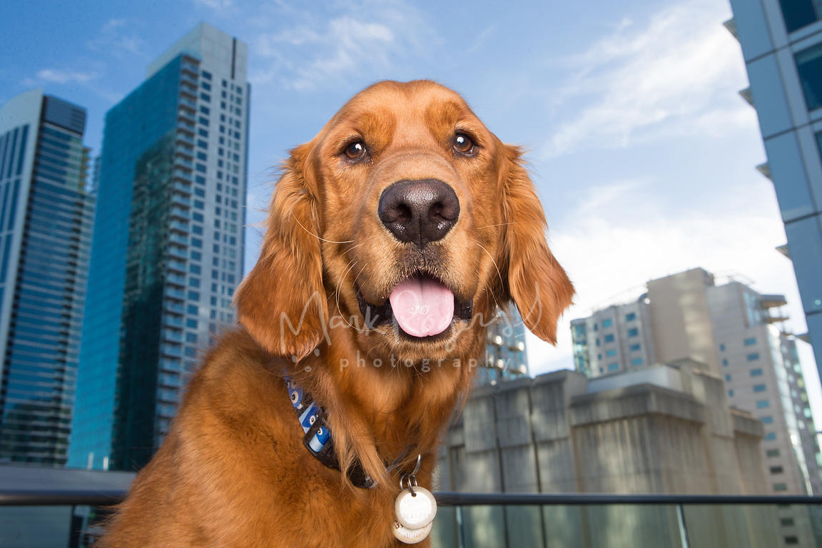 Wide-angle close-up of happy golden retriever with tall buildings behind it