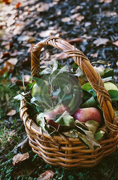A basket full of freshly picked apples are photographed from the front view