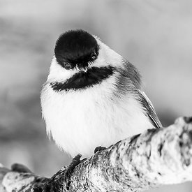 ENTRANCED CHICKADEE