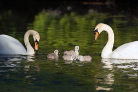 April - Mute Swans with cygnets