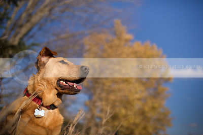 portrait of tan hound dog in autumn sunshine with trees and sky