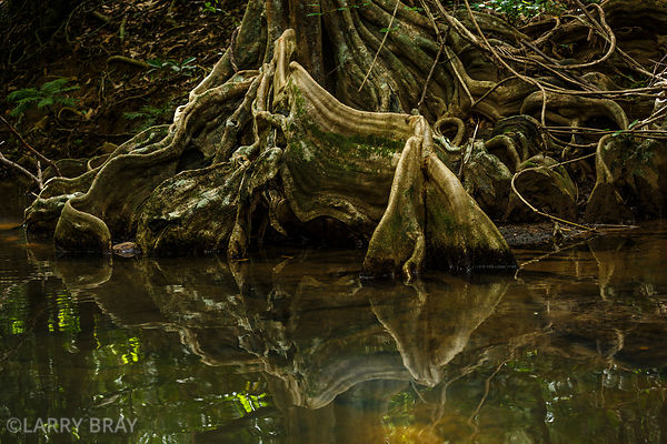 Tree roots reflected in the water in Mangrove swamps, Dominica