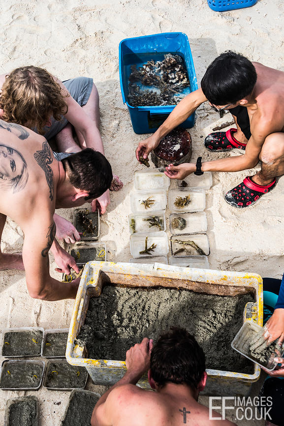 "TRACC volunteers make ""coral biscuits"" - small blocks of concrete holding coral fragments upright and stable so that they hav..."