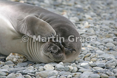 Southern Elephant Seal pup on the beach at Fontana Bay, South Georgia