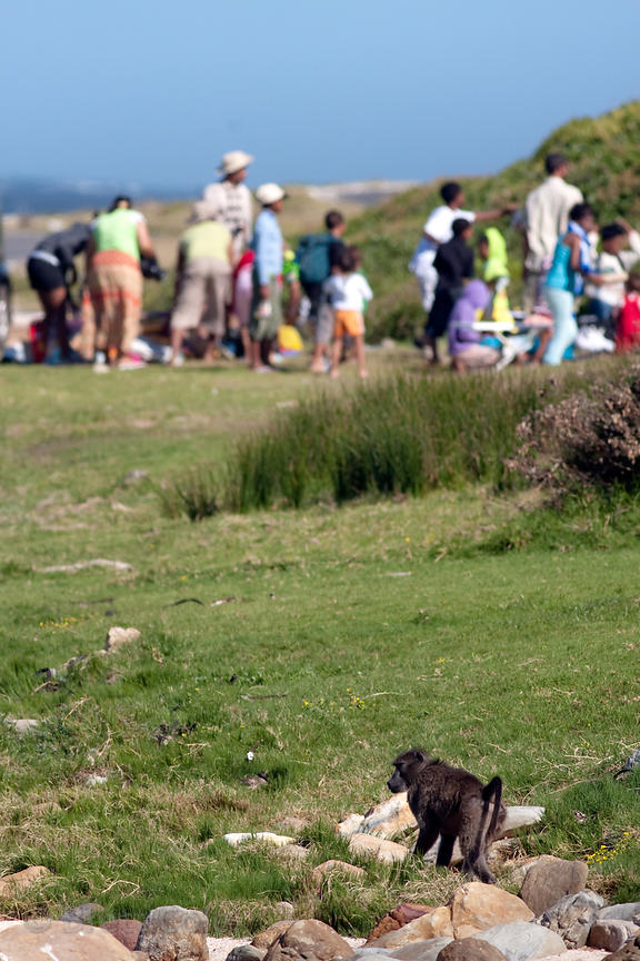 A baboon from the Buffels Bay troop walks up to a picnic being held along the beach at Buffels Bay, Cape Peninsula, South Afr...