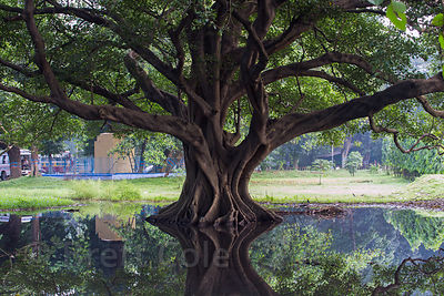 Old tree reflecting in a pond on the Maidan, Kolkata, India