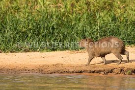 capybara_beach_walk-1