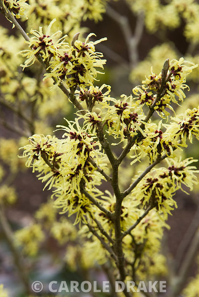 Hamamelis x intermedia 'Sunburst'. The Sir Harold Hillier Gardens/Hampshire County Council, Romsey, Hants, UK
