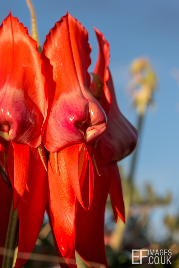 Red Sturt's Desert Pea Flower