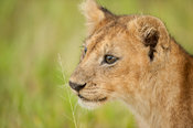 Lion cub (Panthero leo), Serengeti National Park, Tanzania