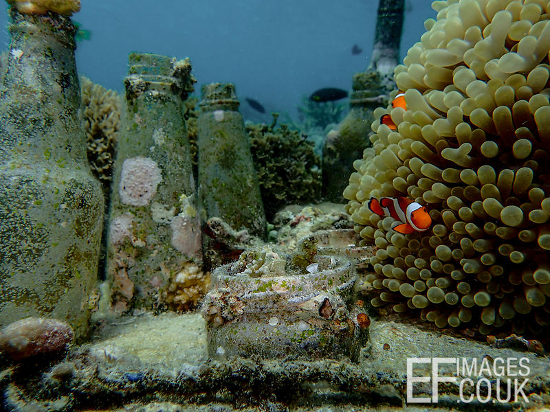 An artificial reef structure known as a bottle reef, that has become home to an anemone and a family of clown fish. Pom Pom I...