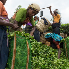 Tea pickers at collecting point