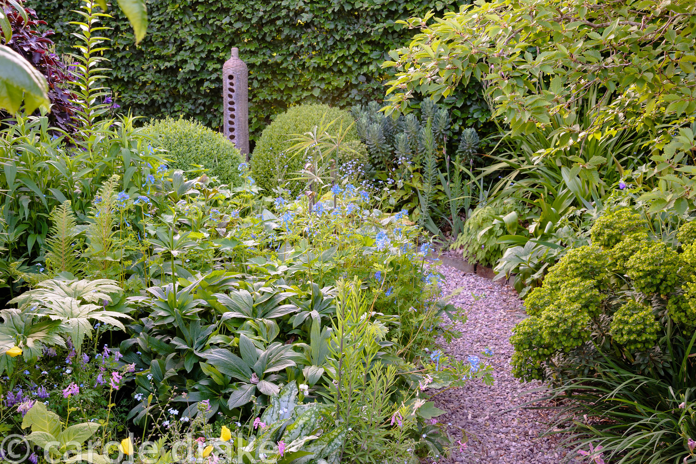 Path in back garden leads between borders planted with hellebores, Corydalis 'Craigton Blue', arisaemas, euphorbias and pulmo...