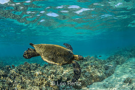 Pacific Green Sea Turtle Swimming off the Big Island of Hawaii
